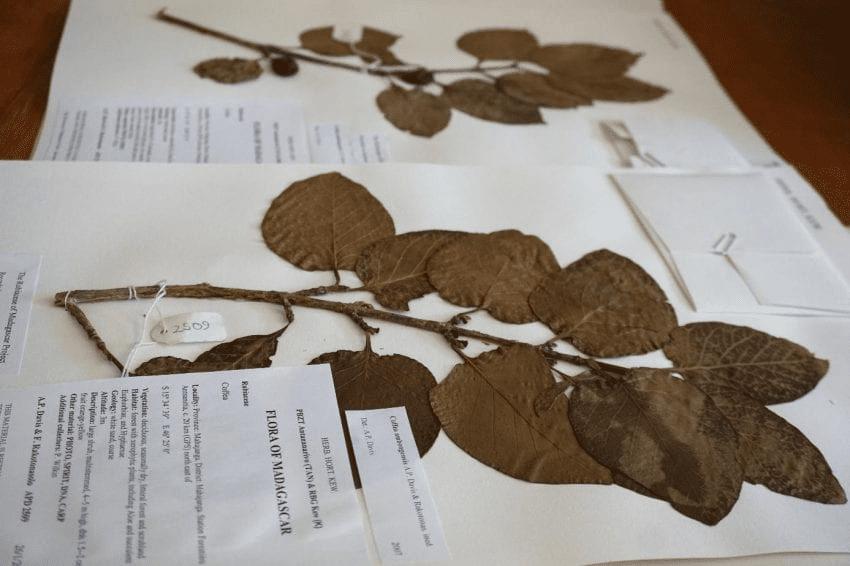 hojas secas de cafe