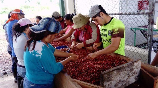 Members of a coffee cooperative selecting cherries by color