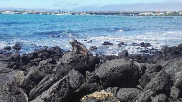 Iguana sitting on a rock