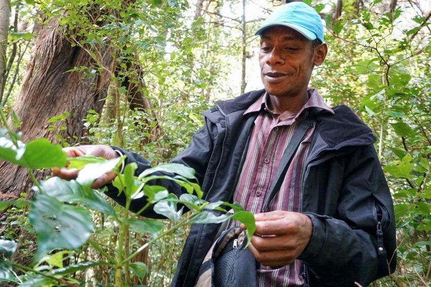 productor de cafe inspecciona hojas de un cafeto