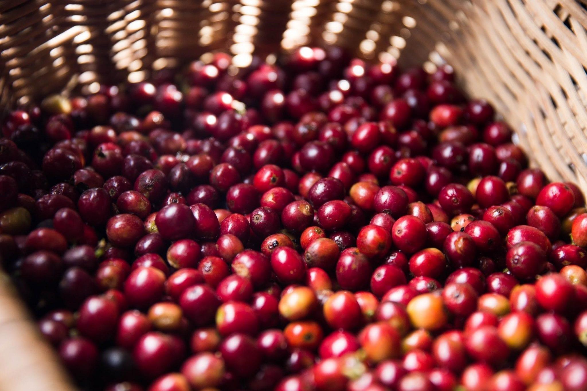 ripe coffee cherries in a bascket