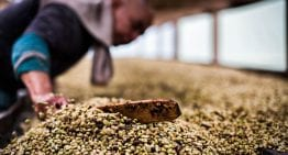 How to Improve Quality When Processing Washed Coffees