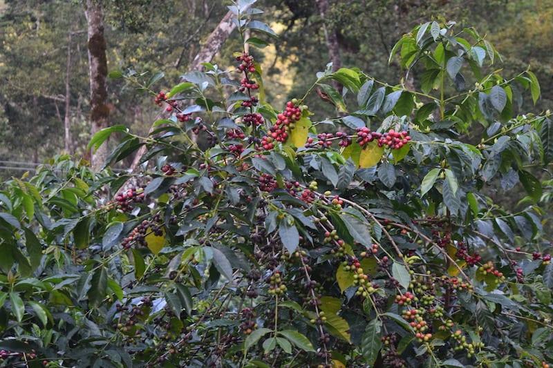 Understanding The Myth of Heirloom Variety Coffee