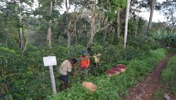 Understanding The Myth of Heirloom Variety Coffee