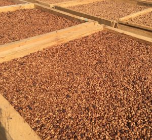 coffees drying in african beds
