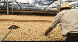 Cómo Medir La Humedad En Los Granos De Café Verde Y Pergamino