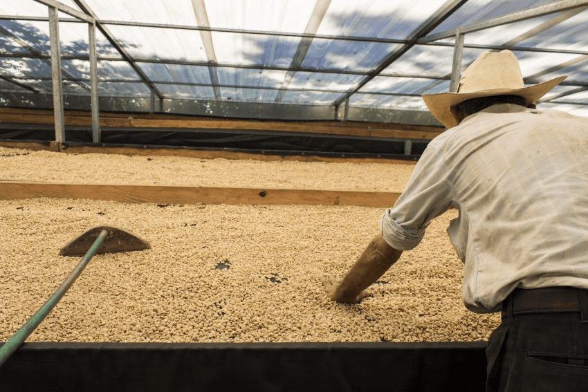 productor inspecciona el secado de su cafe en las camas elevadas