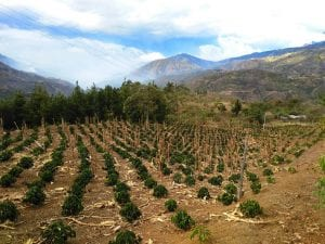 one year old castillo plantation in Colombia
