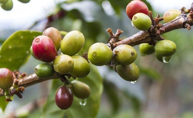 cerezas de cafe verde y rojas en una rama