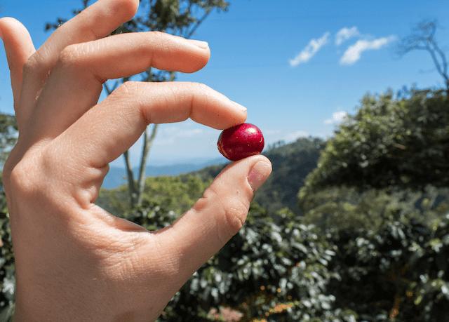 productor muestra una cereza de cafe madura