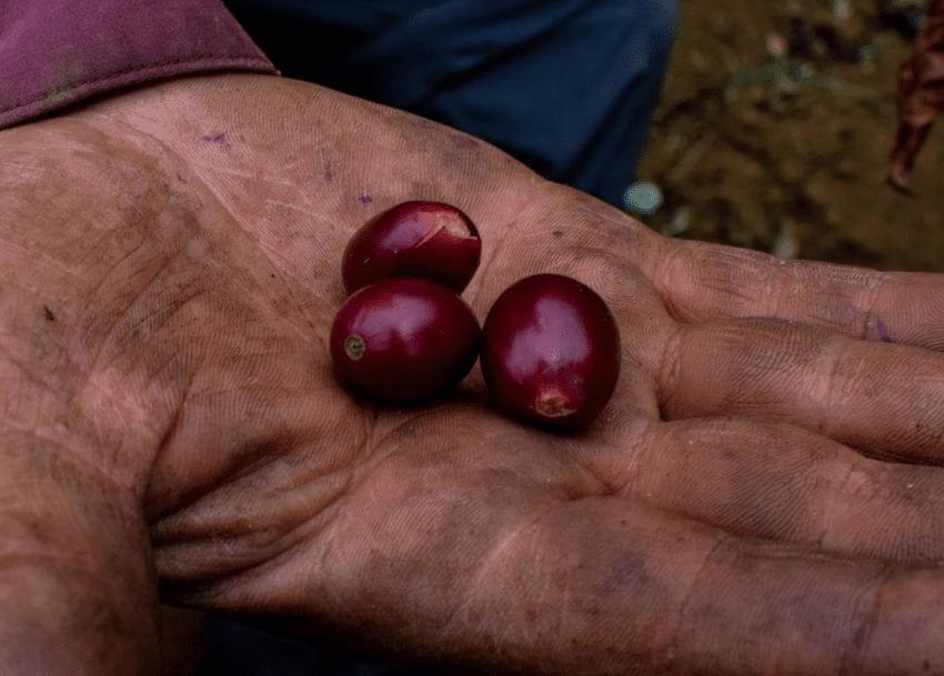 cerezas maduras recien recolectadas