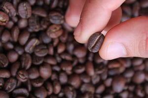 checking freshly roasted coffee beans