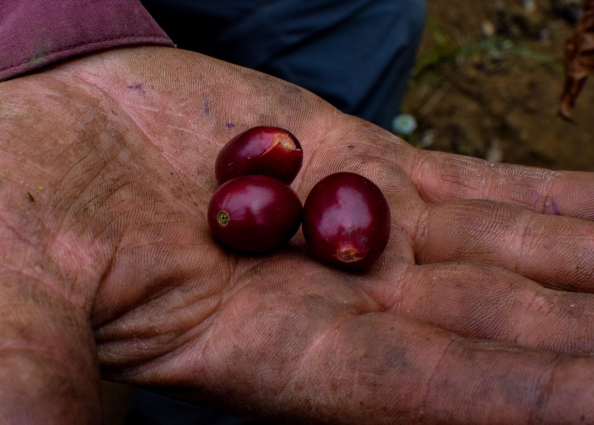 some coffee cherries on a hand of a coffee producer