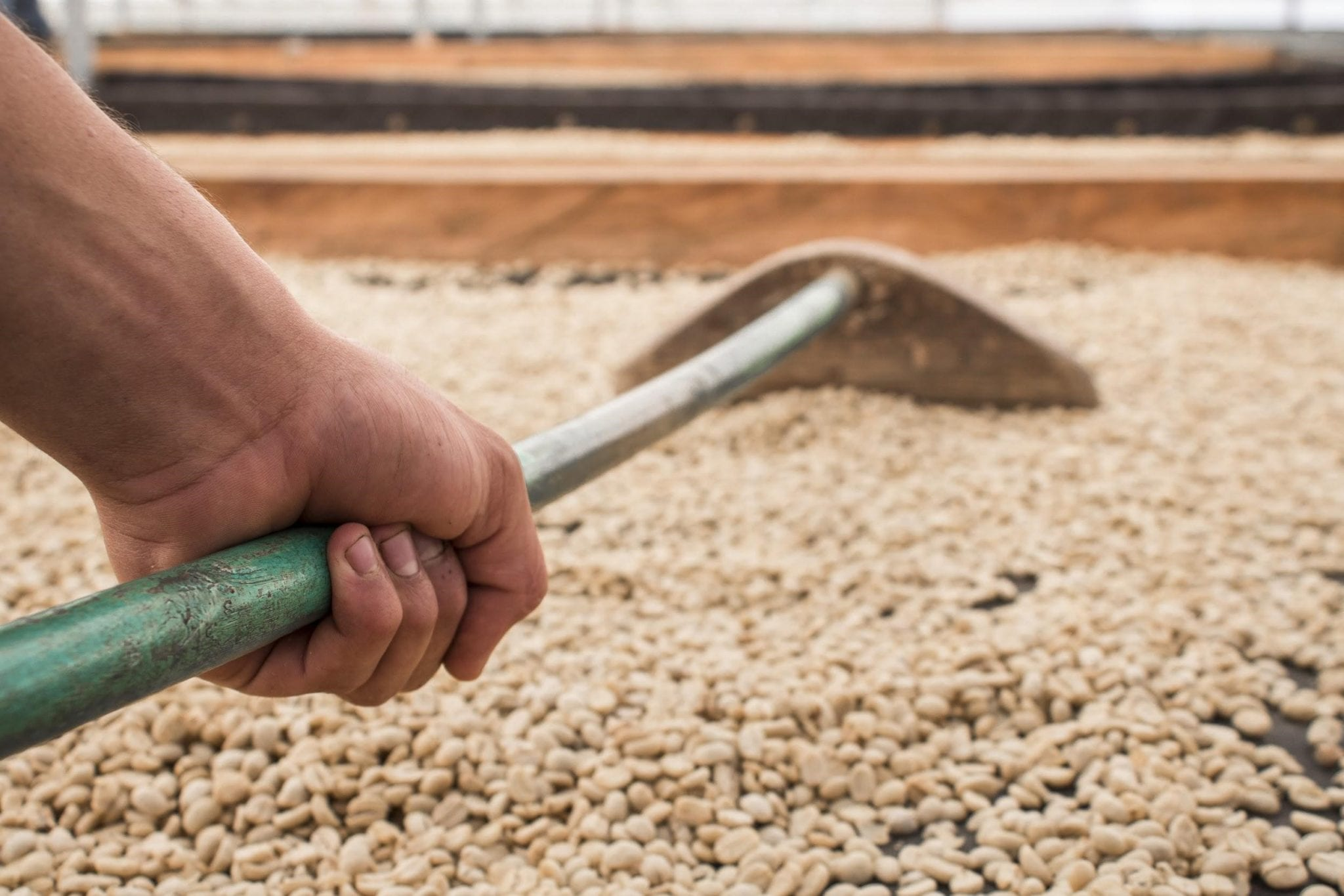 a farmers moves his coffee to ensure an even drying
