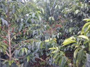 Coffee plants in in a Colombian coffee farm