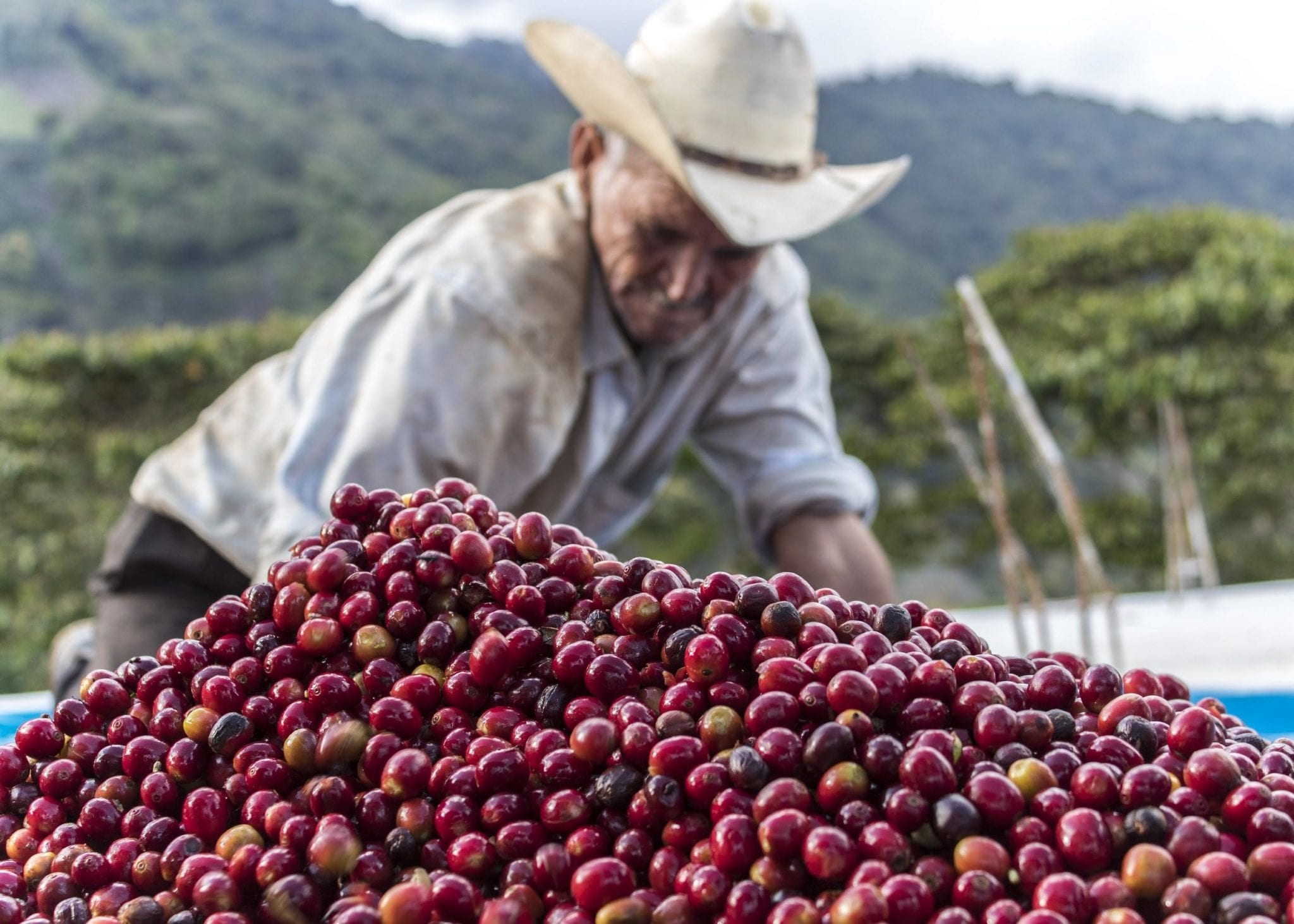 a pile of coffee cherries being sorted by a farmer