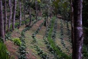 coffee farm in El Salvador