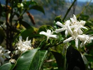 coffee flowers blooming in colombia