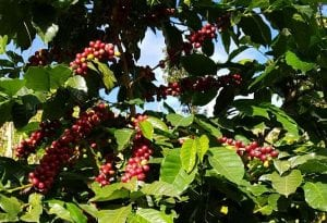 ripe coffee cherries in a coffee tree