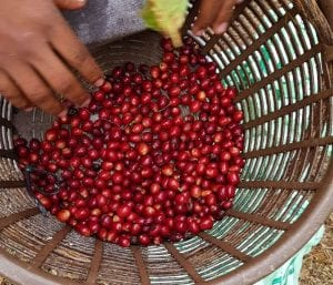 ripe coffee cherries in a basket