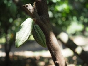 green cacao pods