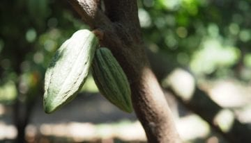 Is Producing Fine Cacao Worth It?