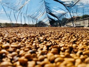fermented coffee drying in raised beds