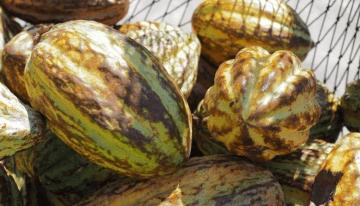 ¿Vale La Pena Producir Cacao Fino?