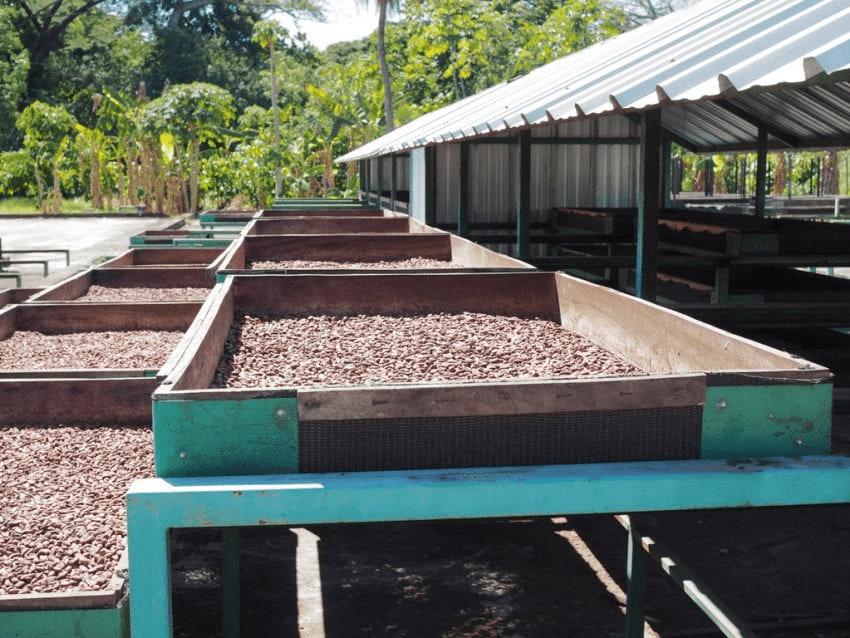 granos de cacao se secan en camas elevadas