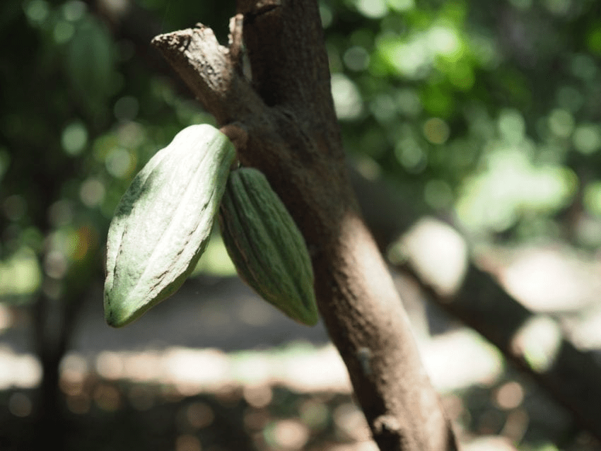cacao sin medurar en un arbol