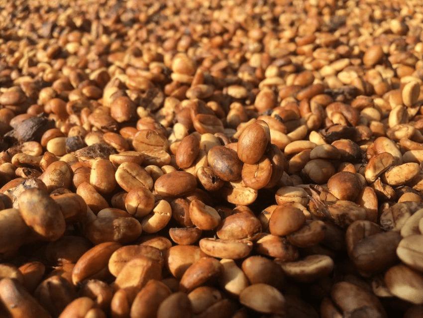 cafe de proceso honey secandose bajo el sol