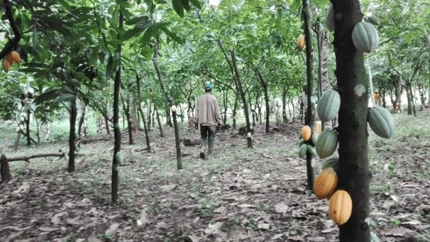 arboles de cacao
