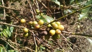 unripe coffee cherries due to leaf rust