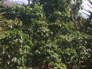 healthy coffee plants