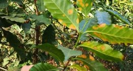 How to Monitor For & Prevent Coffee Leaf Rust