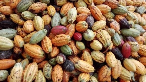 una pila de mazorcas de cacao