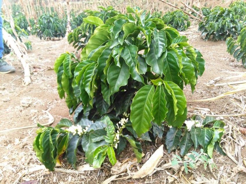 Planta de cafe de variedad castillo