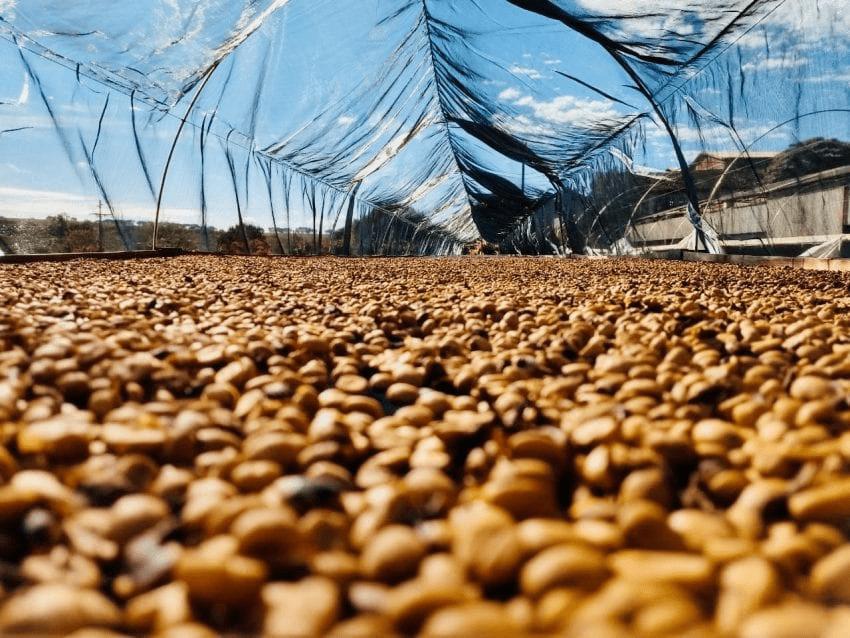secado de cafe en camas elevadas