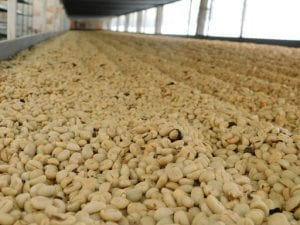 washed coffees drying in raised beds