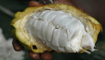 ¿Por Qué Deberías Conocer El Cacao Fino De Togo?