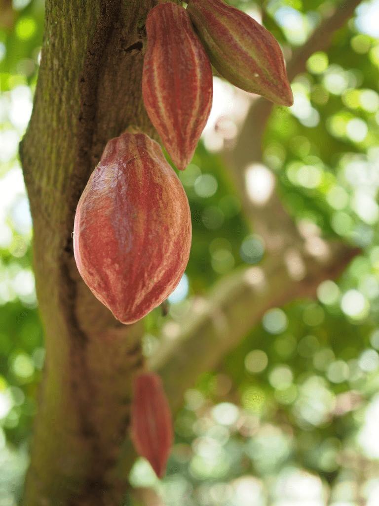 vainas de cacao listas para recolectar