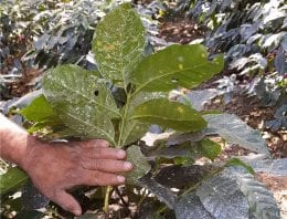 Using Fungicides to Treat Coffee Leaf Rust