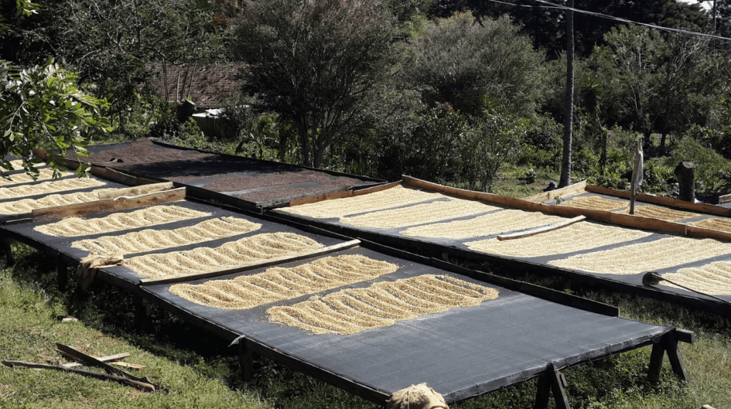 Washed and natural processed coffees dry under the sun