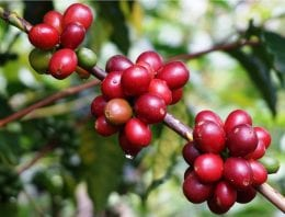 Geisha, Bourbon, & More: How to Identify 6 Coffee Varieties