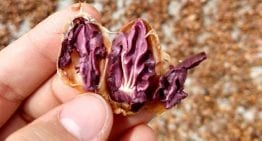 Should The Cacao Industry Be Afraid of CCN-51?