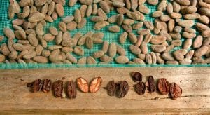 cacao beans on drying bed