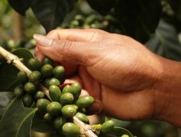 A Producer's Guide to Pruning & Stumping Coffee Trees