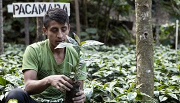 How Producers in La Libertad, Guatemala Increased Coffee Quality