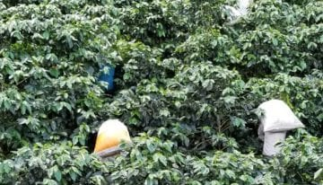 Changing Challenges & Solutions for Guatemalan Coffee Producers