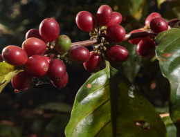 A Guide to Grafting Coffee Plants